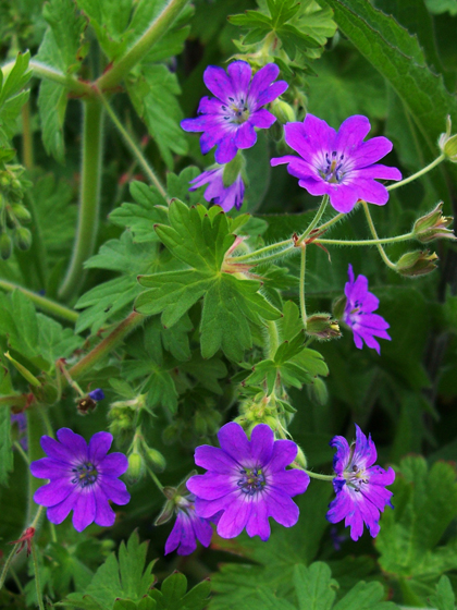 Hedgerow Cranesbill