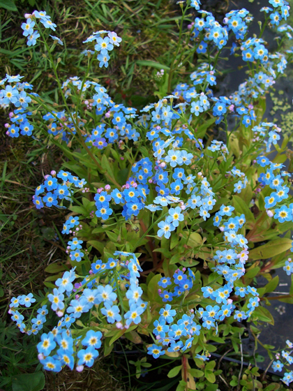 Water Forget - Me - Not