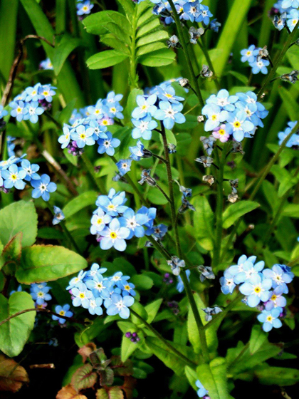 Wood Forget - Me - Not