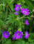 Cranesbill, Hedgerow