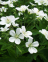 Cranesbill, Wood, White