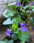 Dog-Violet, Common