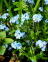 Forget - Me - Not, Wood