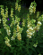 Foxglove, Large Yellow